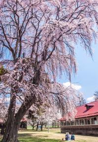 20【入選】 桜の下で(井出利松).jpg