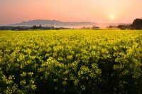3【優秀賞】「朝陽に浮かぶ菜の花畑」(坂本美江子).jpg