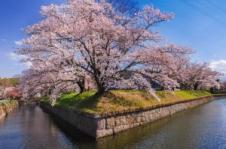 18 【入選】 城郭の桜(井出利松).jpgのサムネイル画像